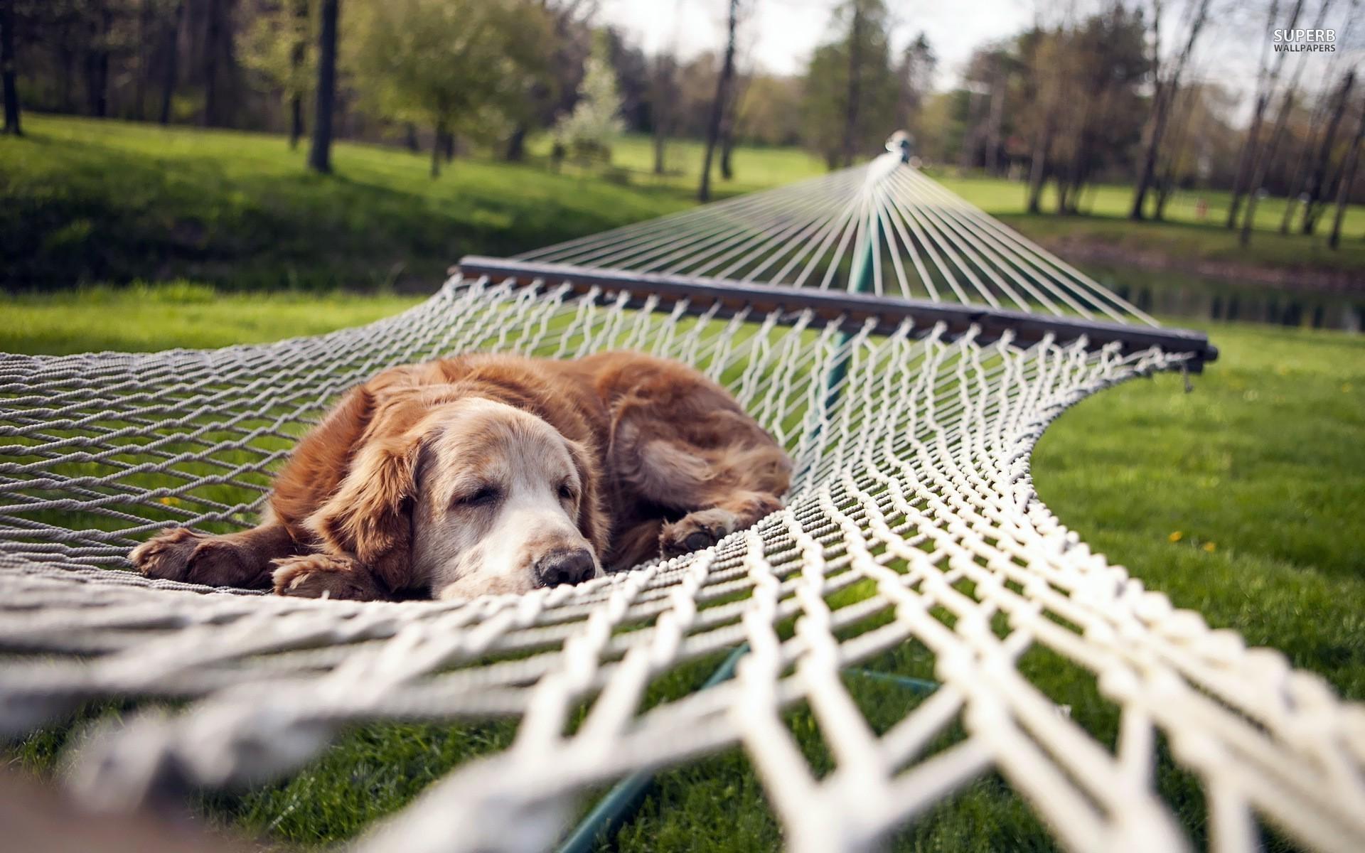 dog-resting-in-hammock-hd-wallpaper-89289